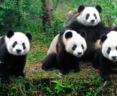 animales google panda